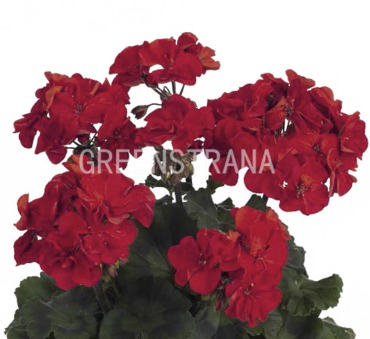 """Пеларгония зональная """"Pelargonium"""""""