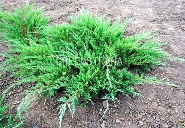 Можжевельник казацкий 'Juniperus sabina'