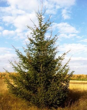 Ель Обыкновенная  'Picea abies'