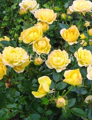 Роза почвопокровная Йеллоу Фэйри