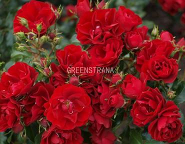 Роза почвопокровная Ред Фэйри