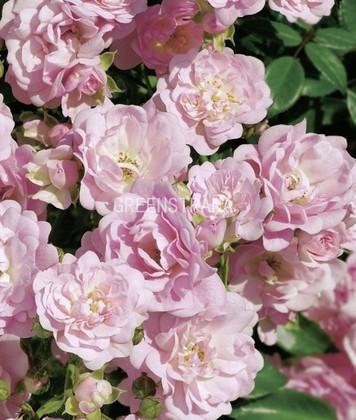 Роза почвопокровная Фэйри