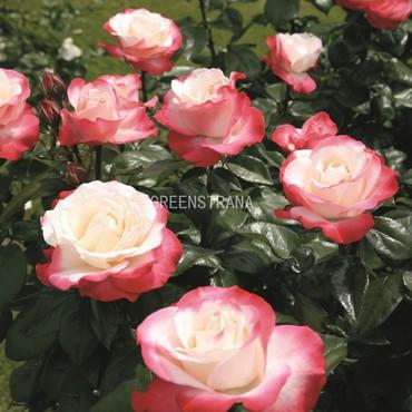 Роза чайно-гибридная Ностальжи