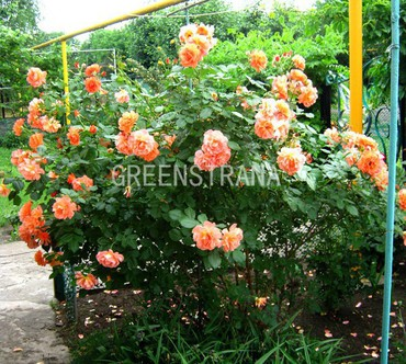 Роза парковая Вестерленд