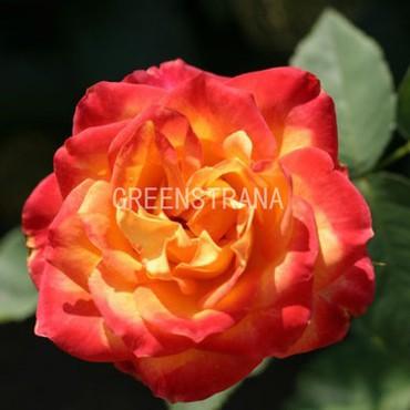 Роза флорибунда Анимо