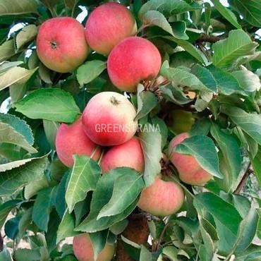 Яблоня колоновидная Кумир