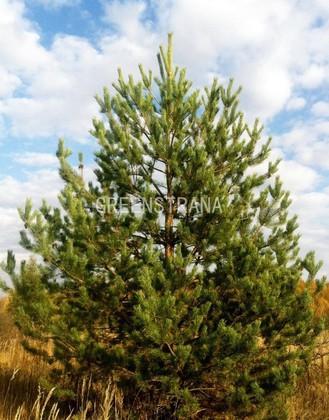 Сосна обыкновенная 'Pinus sylvestris'