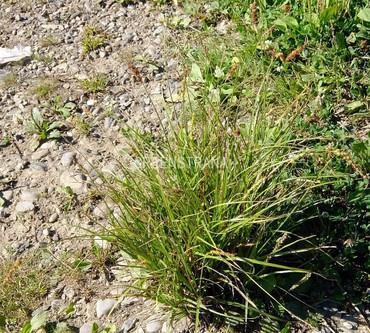 Осока гладконосая (Carex leiorhyncha)