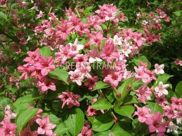 Вейгела цветущая Розеа