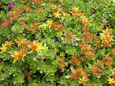 Очиток цветоносный (Sedum floriferum)