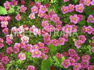Камнеломка Арендса 'Carpet Pink'