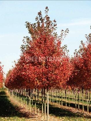 "Клён красный ""Acer rubrum"""