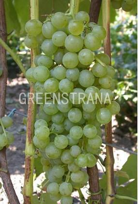 Виноград Лира