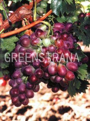 "Виноград ""199-206"""