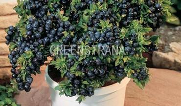 Голубика садовая `Brigitta Blue`