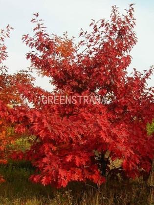 """Дуб красный """"Quercus rubra"""""""