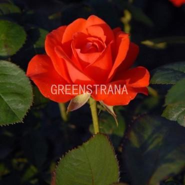 """Роза флорибунда """"Холстайн """""""