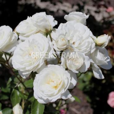 Роза флорибунда Вайт Валей