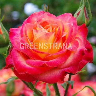 Роза чайно-гибридная Алинка