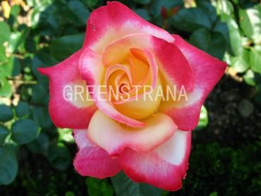 Роза чайно-гибридная Биколет