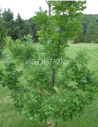 """Дуб черешчатый """"Quercus robur"""""""