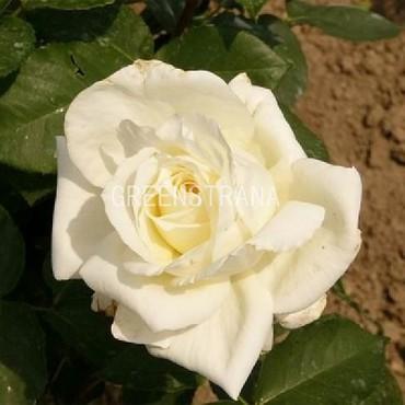 Роза чайно-гибридная Вайт Викенд