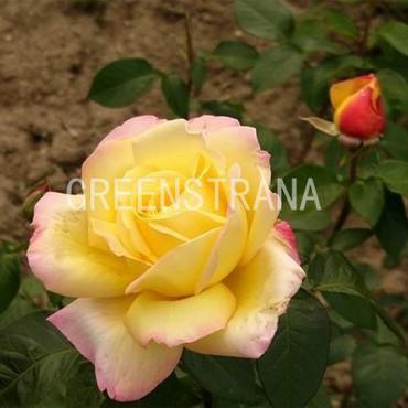 Роза чайно-гибридная Голден Лидер