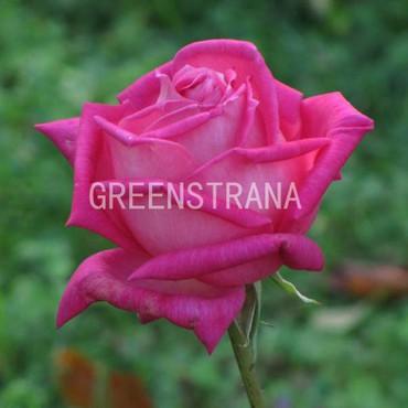 Роза чайно-гибридная Изабэль Ортиз