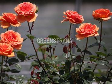 Роза чайно-гибридная Консул