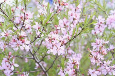 """Миндаль """"Prunus dulcis"""""""