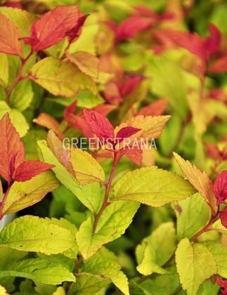 Спирея японская `Green and Gold`