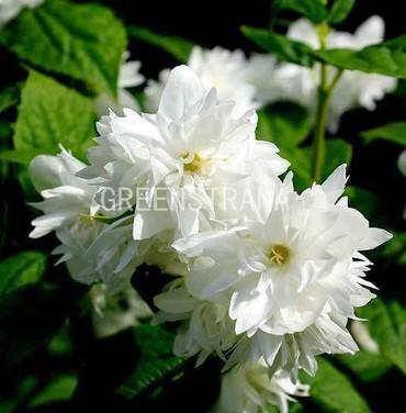 Чубушник венечный `Белая дама`