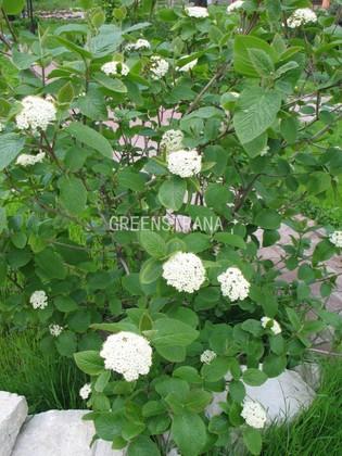"""Калина гордовина """"Viburnum lantana"""""""
