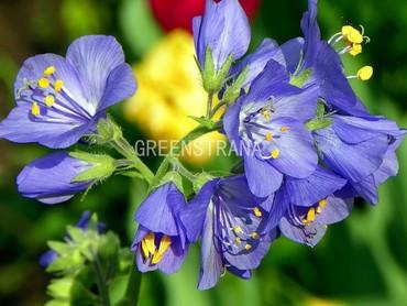 Синюха(Polemonium caeruleum)