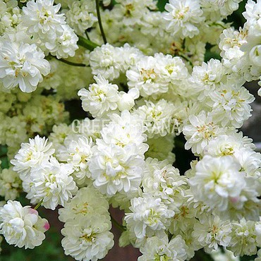 Лабазник обыкновенный 'Flore pleno'