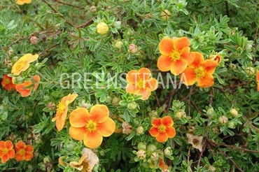 Лапчатка кустарниковая 'Hopley Orange'