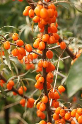 Облепиха крушиновидная 'Friesdorfer Orange'