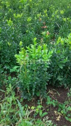 """Самшит вечнозеленый  """"Buxus sempervirens"""""""