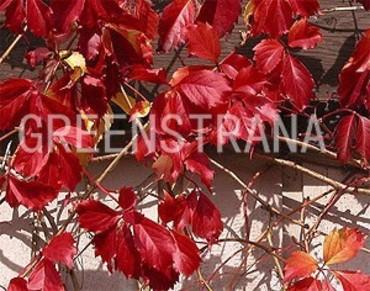 "Девичий виноград ""Parhenocissus inserta"""