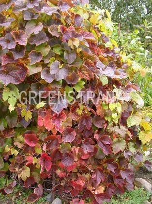 "Амурский виноград ""Vitis amurensis"""