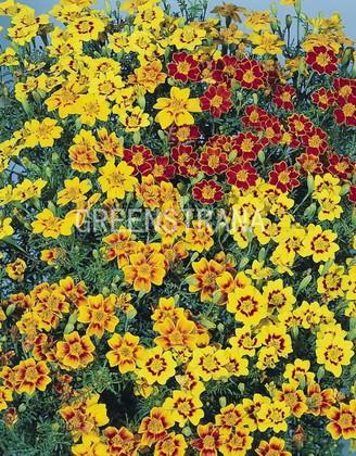Тагетес мелкоцветковый
