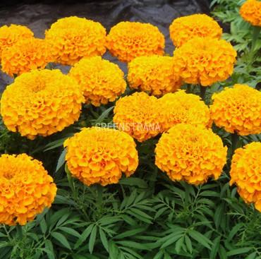 Тагетес крупноцветковый