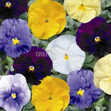 Виола Витрокка (крупноцветковая)