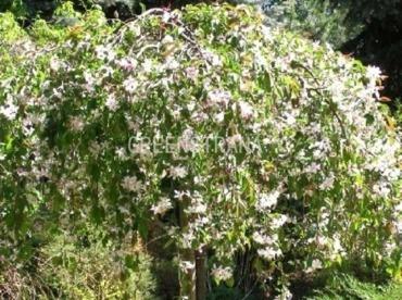 "Яблоня сахалинская ""Пендула"" - Malus sachalinensis 'Pendula"