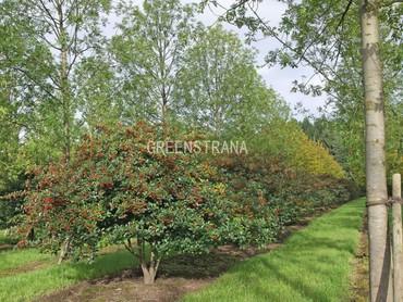 Боярышник сливолистный (Crataegus prunifolia)