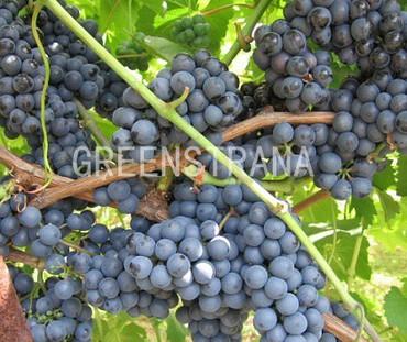 """Виноград плодовый """" Regent"""""""