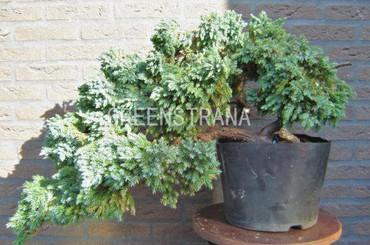 """Можжевельник обыкновенный """" Мейер"""" (Juniperus communis «Meyeri»)"""