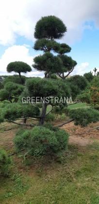 Бонсай - сосна обыкновенная 'Pinus silvestris'