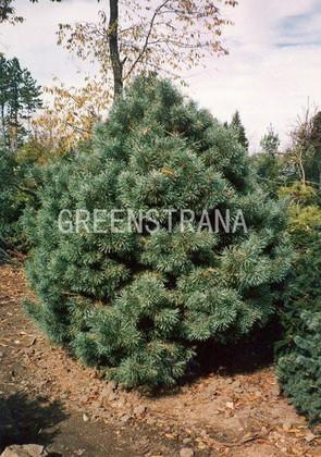 Сосна обыкновенная 'Pinus silvestris'