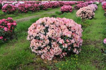Рододендрон якушиманский Перси Вайзмен